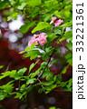 花 山査子 紅花サンザシの写真 33221361
