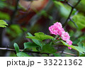 花 山査子 紅花サンザシの写真 33221362