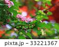花 山査子 紅花サンザシの写真 33221367