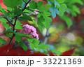 花 山査子 紅花サンザシの写真 33221369