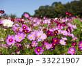 コスモスの花 33221907