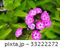 花 花魁草 草夾竹桃の写真 33222272