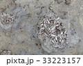 石見畳ヶ浦の化石 33223157