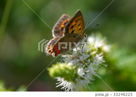 蝶と花 33246225