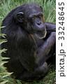 動物 チンパンジー サルの写真 33248645