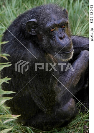 チンパンジー 33248645