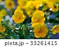 パンジー 花 開花の写真 33261415