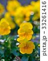 パンジー 花 開花の写真 33261416