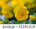 パンジー 花 開花の写真 33261418