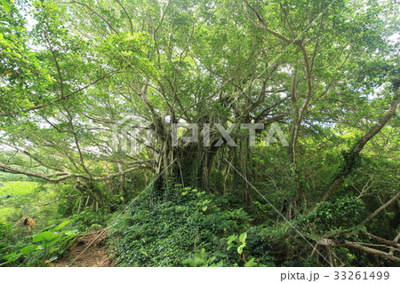 奄美大島・加計呂麻島の武名ガジュマル 33261499