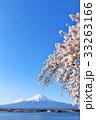 春の青空に恵まれた桜と富士山 33263166