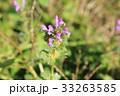 ホトケノザ 野草 草花の写真 33263585