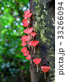 菌類 真菌 きのこの写真 33266094