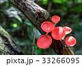 菌類 真菌 きのこの写真 33266095