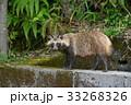 タヌキ 33268326