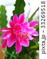 サボテン クジャクサボテン 孔雀サボテンの写真 33269518