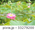 蓮の花 33279200