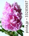 植物 花 シャクヤクの写真 33283697