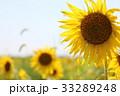 ヒマワリ畑 33289248