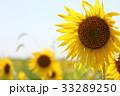向日葵 花 夏の写真 33289250