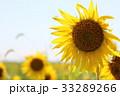 向日葵 花 夏の写真 33289266
