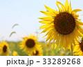 向日葵 花 夏の写真 33289268