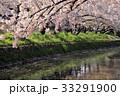 五条川 散り桜 桜の写真 33291900