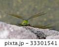 昆虫 ヤンマ ギンヤンマの写真 33301541