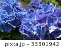紫陽花 33301942