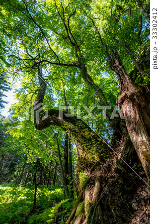 森の大木4 33302412