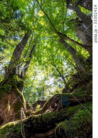 森の大木6 33302414