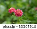 花 ランタナ 七変化の写真 33305918