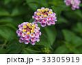 花 ランタナ 七変化の写真 33305919