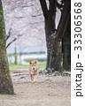 桜と柴犬 33306568