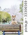 桜と柴犬 33306569