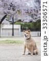 桜と柴犬 33306571