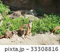 ミーアキャット 動物 哺乳類の写真 33308816