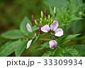 クレオメ 花 クローズアップの写真 33309934
