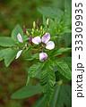 クレオメ 花 クローズアップの写真 33309935
