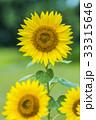 夏 ひまわり 向日葵の写真 33315646
