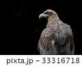 オジロワシ 尾白鷲 33316718