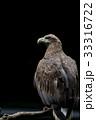 オジロワシ 尾白鷲 33316722