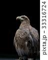 オジロワシ 尾白鷲 33316724