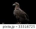 オジロワシ 尾白鷲 33316725