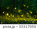 ヒメボタル 蛍 昆虫の写真 33317050