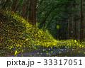 ヒメボタル 蛍 昆虫の写真 33317051