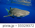 whale shark in the sea 33329372