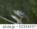 五位鷺 野鳥 鳥類の写真 33334537