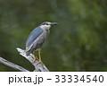 五位鷺 野鳥 鳥類の写真 33334540