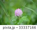 植物 花 紫詰草の写真 33337166